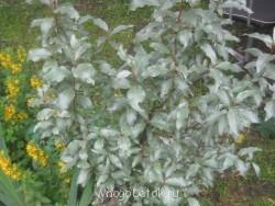 Какие цветы посадить на даче? - фото ВСЕ с карты 146.jpg