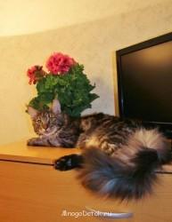 Котята мейн-кун не дорого - IMG_4896.JPG