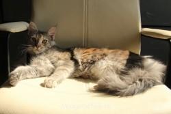 Котята мейн-кун не дорого - IMG_4332.JPG