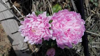 Какие цветы посадить на даче? - IMG_20160604_133055.jpg
