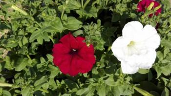 Какие цветы посадить на даче? - IMG_20160616_165811.jpg