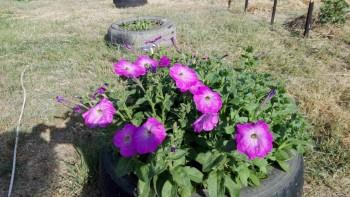 Какие цветы посадить на даче? - IMG_20160616_165835.jpg