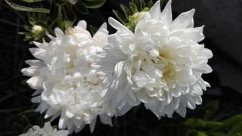 Какие цветы посадить на даче? - IMG_20160616_165951.jpg
