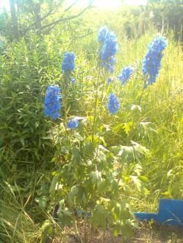 Какие цветы посадить на даче? - Фото0628.jpg