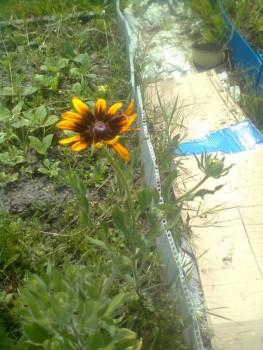 Какие цветы посадить на даче? - Фото0630.jpg