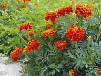 Какие цветы посадить на даче? - IMG_20160804_170432.jpg