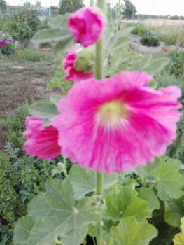 Какие цветы посадить на даче? - IMG_20160804_170637.jpg