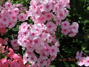 Продам излишки саженцев и цветов для дачи в Москве и МО - DSCN0067.JPG