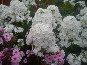 Продам излишки саженцев и цветов для дачи в Москве и МО - DSC01873.jpg