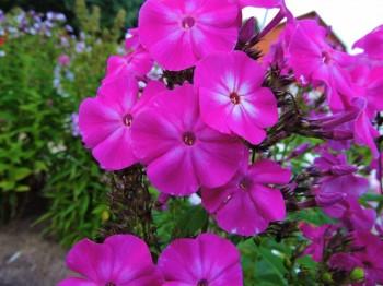 Продам излишки саженцев и цветов для дачи в Москве и МО - мой сеянец №1.JPG