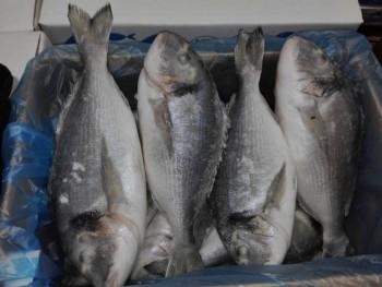 Мурманская рыба, морепродукты, печень трески судовой заморозки  - дорадо.jpeg